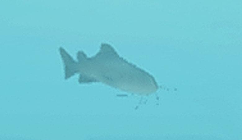 謎のナマズらしき魚影